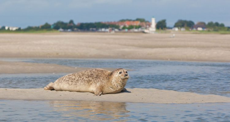 Seal in the Somme Bay.