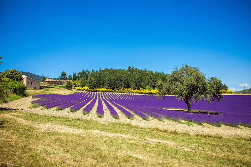 Neat purple lavender field with against blue sky in Provence