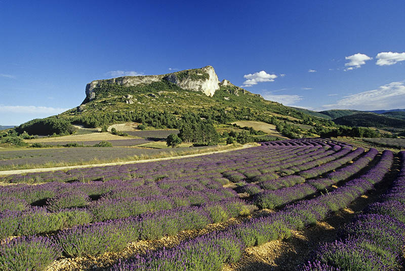 lavender fields at the foot of the Rock of Mevouillon, Baronnies Natural Park, Drome department, Rhone-Alpes region, southeastern France, Europe.