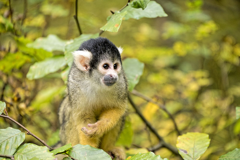 Name: Bolivian squirrel monkey