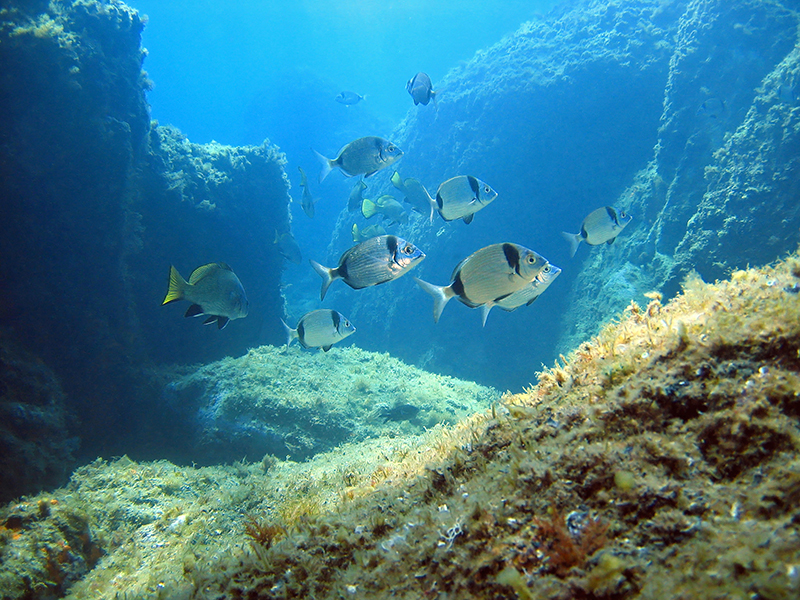 Rocky seafloor with seabream fish, Mediterranean sea, Costa Brava, Rosas, Catalonia, Spain
